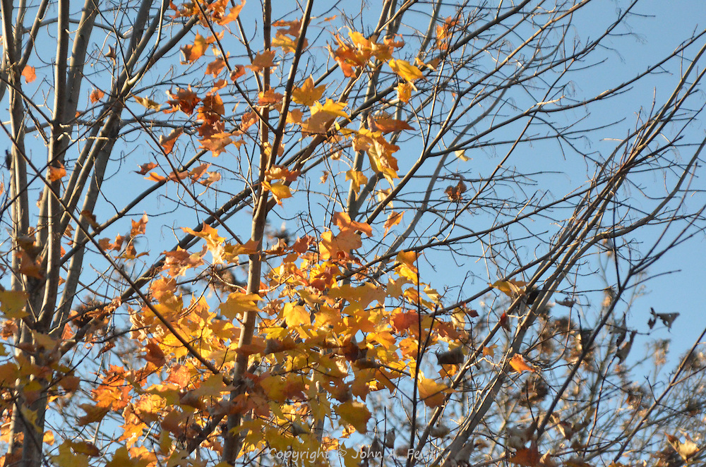 A cluster of yellow oak leaves, some of the last ones to fall.  Hillsborough, NJ