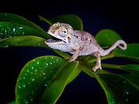 Helmeted Chameleon (Chamaeleo Hoehnelii)