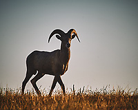 Bighorn Ram at Sunrise. Image taken with a Nikon D700 camera and 80-400 mm VR lens (ISO 200, 400 mm, f/11, 1/250 sec).