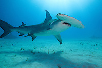 Great Hammerhead Shark<br /> <br /> Shot in Bahamas