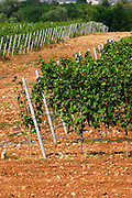 Vines in the vineyard. Pattern with white wooden posts supporting the wires. Vines equipped with black rubber or plastic tubes for artificial irrigation watering. Vranac grape variety. Typical red reddish clay sand sandy soil mixed with pebbles rocks stones in varying amount. Vineyard on the plain near Mostar city. Hercegovina Vino, Mostar. Federation Bosne i Hercegovine. Bosnia Herzegovina, Europe.