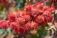 Ricinus Carmencita Red seed heads - Syros Greece