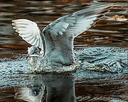 """Seabirds of Long Island Sound. Seagull catching fish. Size suitable for framing or canvas prints up to 13 x 16"""" or any website."""