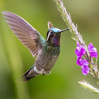 Eugenes spectabilis,  <br /> Costa Rica, June 2021<br /> Bosque del Paz Lodge