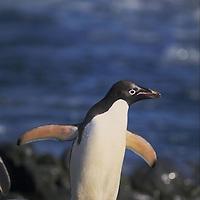 Adelie penguin  Accession #: 0.97.081.008.05