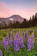 Lupine near Ebbetts Pass, Stanislaus National Forest, California