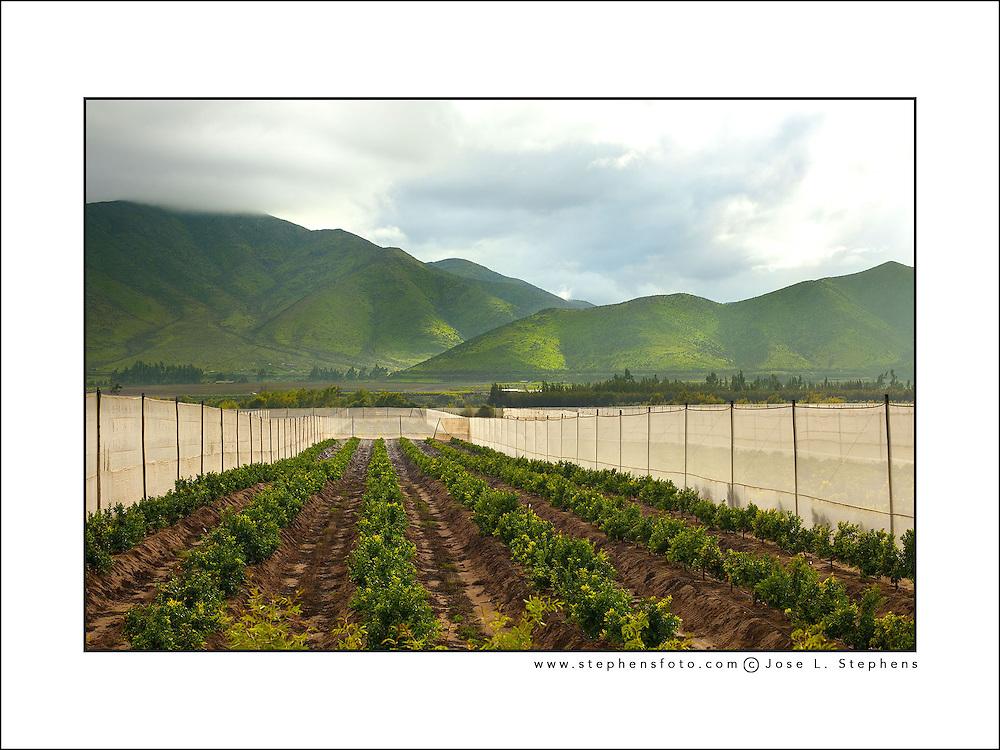 Orange crops at Elqui Valley, Coquimbo region, Chile