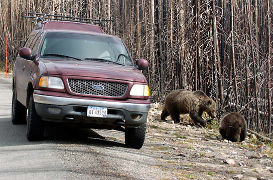 Grizzly Bear (Ursus arctos) Mother with cub in Yellowstone National Park near road and tourist. Fall.