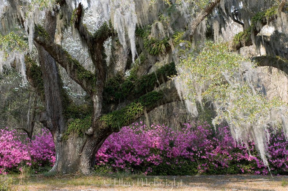 Live Oak Tree (Quercus virginiana), Charleston, South Carolina
