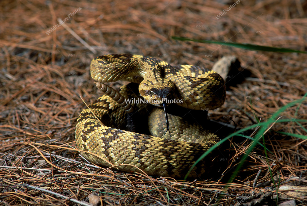 Black-tailed Rattlesnake (Crotalus molossus), in defensive striking position; Chiricahua Mountains, Arizona