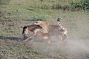 Cheetah jumping onto the back of wildebeest calf, Acinonyx jubatus, Serengeti National Park Tanzania<br /> brindled gnu<br /> wildebeest<br /> Connochaetes taurinus<br /> calf<br /> kill<br /> prey<br /> predator<br /> chase<br /> Africa<br /> nature<br /> mammals<br /> wildlife