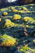 Mole hills lit by bright morning sunshine on hillside of Solsbury Hill,  Batheaston, Somerset, England, UK