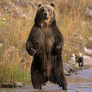 Grizzly Bear, (Ursus horribilis) Adult at river standing up. Southwest Montana. Captive Animal.