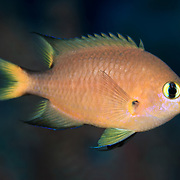 Darkfin chromis (Chromis atripes), photographed in the Eastern Fields of Papua New Guinea
