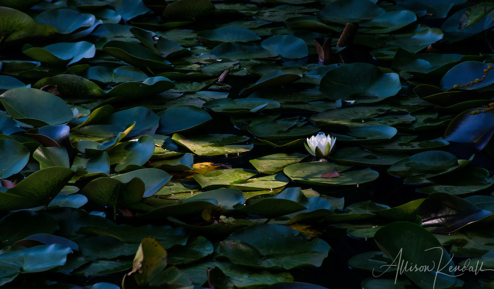 Solitary white water lily flower illuminated by sunlight, against dark lush green leaves in a pond at Pukekura Park in New Plymouth, New Zealand