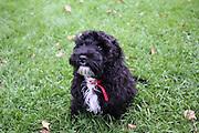 Pedro the cockerpoo puppy