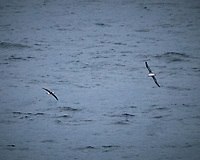 Laysan Albatross. Viewed from the deck of the MV World Odyssey. Image taken with a Fuji-X-T1 camera and 55-200 mm lens (ISO 6400, 200 mm, f/4.8, 1/1000 sec).