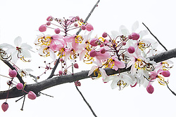 Cassia Bakeriana Pink Shower Wishing Tree#3