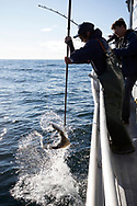 Fishing halibut with Crackerjack Charters in Resurrection Bay on the southeastern tip of the Kenai Peninsula. <br /> <br /> Seward, Alaska, USA<br /> <br /> Photographer: Christina Sjögren<br /> <br /> Copyright 2019, All Rights Reserved