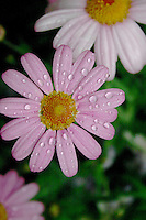Pink flower with raindrops, grainy