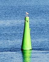 Herring Gull (Larus argentatus). Viewed from the deck of the MV Explorer, Stockholm Archipelago. Stockholm, Sweden. Image taken with a Nikon D4 camera and 80-400 mm VR lens.