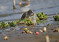 , Jocotopec, Jalisco, Mexico, 24 April 2018. In the same week that the largest ever concentration of microplastics is found in the Atlantic Ocean other plastic waste continues to be a life threatening hazard for wildlife everywhere. Here an immature Black-crowned Night Heron (Nycticorax nycticorax) attempts to swallow a plastic bag carelessly discarded with fish inside, Lake Chapala. Consuming the bag is certain death. Most retailer stores and supermarkets in Mexico continue to use plastic bags at checkouts. Peter Llewellyn/Alamy News
