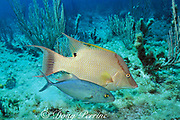 bar jack, Caranx ruber, follows hogfish, <br /> Lachnolaimus maximus to scavenge scraps from meal,<br /> Little Cayman Island<br /> Cayman Islands ( Caribbean Sea )