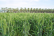 Israel, Jordan Valley, Kibbutz Degania Alef the first kibbutz established by Jewish Zionist pioneers in the areas of the Land of Israel, then under Ottoman rule. It was founded in 1909 by the World Zionist Organization. The wheat fields