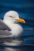 Seagull with a twinkle in his eye | Måke med glimt i øyet