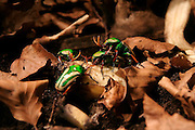 Mating striped love beetles (Eudicella gralli) feed on bananas in an enclosure filled with dried leaves at the Woodland Park Zoo in Seattle, Washington.