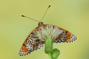 Spotted Fritillary Butterfly, Melitaea didyma, Europe, Underside of wings open, southern and central Europe from north Africa to Poland and Greece, Red-band Fritillary
