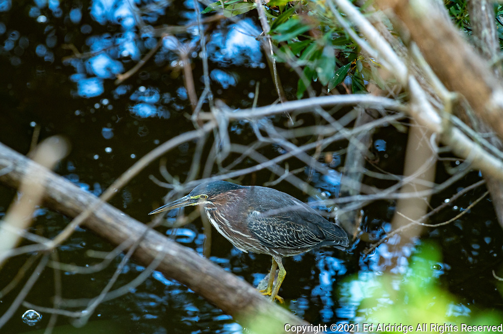 Green Heron perched on a branch at Huntington Beach State Park, South Carolina. Image taken by Ed Aldridge with a NIKON Z 6_2 and 300mm f/2.8D at 300mm, ISO 1600, f5.6, 1/50.