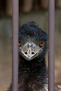 A portrait of an emu at Tama Zoo, Hino, Tokyo, Japan Sunday, March 24th 2013