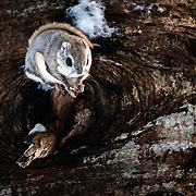 This is a species of flying squirrel called Ezo Momonga in Japanese (Pteromys volans orii). It is a sub-species of Siberian flying squirrels that is found on the island of Hokkaido in Japan. These squirrels are primarily nocturnal and usually shy, though the squirrels can occasionally be seen during the day. They prefer to take up residence in holes made by woodpeckers. Their diet primarily comprises leaves, seeds, cones, buds, sprouts, nuts and berries. This individual paused in this position for a few moments after emerging one winter evening from its hole in a Sakhalin fir tree (Abies sachalinensis), known as todomatsu in Japanese. This species does not hibernate.