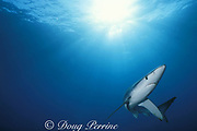 blue shark, Prionace glauca, Channel Islands, California, USA ( Eastern Pacific Ocean )