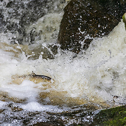 Alewives swimming upstream during their spring spawning run  in Mill Brook in Westbrook, Maine.