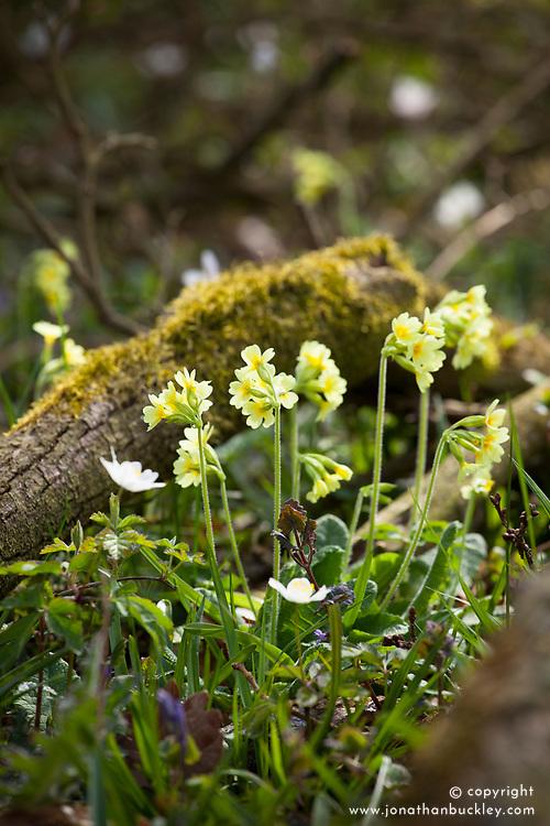 Oxlips, celandine and wood anemones. Primula elatior, Anemone nemorosa