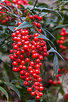Nandina domestica is a broadleaf shrub ornamentally grown for its fruit display. Native to Japan, China and India this evergreen shrub belonging to the Barberry family, it is commonly called heavenly bamboo since its stems and leaves resemble bamboo. Sprays of round red berries sprout in winter.