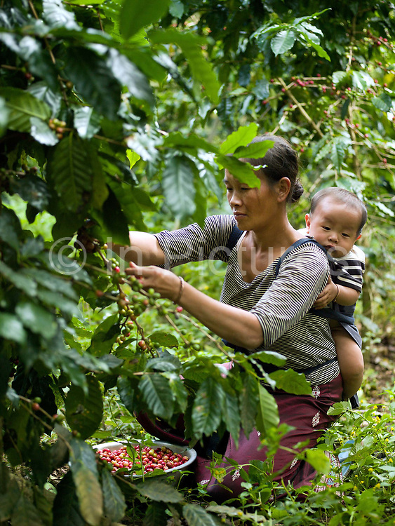 With her baby on her back, a Hmong ethnic minority woman in Ban Long Lan harvests Arabica coffee cherries for 'Saffron coffee', Luang Prabang province, Lao PDR. The coffee is grown in the high mountain peaks and plateaus in Luang Prabang over 800 meters above sea level. In November, December and January Saffron Coffee coffee farmers gather all of their family members to hand pick only the red-ripe cherries. It will take several passes over these few months to harvest all of them. These farmers were once producers of opium, but who have been impoverished by lack of a replacement crop in the wake of opium's prohibition by the Lao government. Saffron Coffee's goal in helping these farmers grow coffee is to give them a viable and sustainable cash crop, developing their economy, and thus giving them the ability to buy medicines and send their children to school.