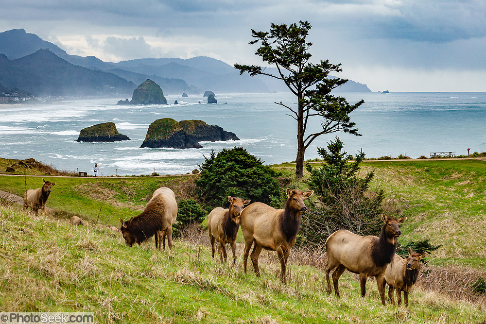 Roosevelt elk (Cervus canadensis roosevelti) graze in winter at Ecola State Park, on the Oregon coast, USA. Behind the elk, various sea stacks rise from the Pacific Ocean, including nearby Bird Rocks and Haystack Rock offshore from Cannon Beach.