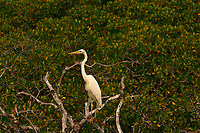 Egrit, John Pennekamp Coral Reef State Park, Key Largo, Florida Keys, USA
