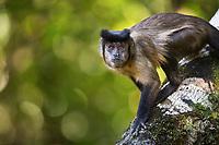 A tufted capuchin, Sapajus apella, climbing down a tree limb.