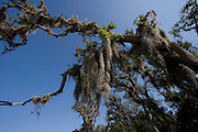 Spanish moss in oak tree, Florida