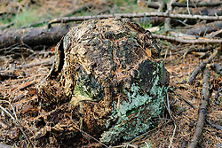 Zombiestobbe, Overgroeide stobbe, overgrown stump Pseudotsuga menziesii, Douglas spar.