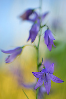 Campanula micrantha, Piano Grande/Sibillini National Park, Italy; WWoE Mission