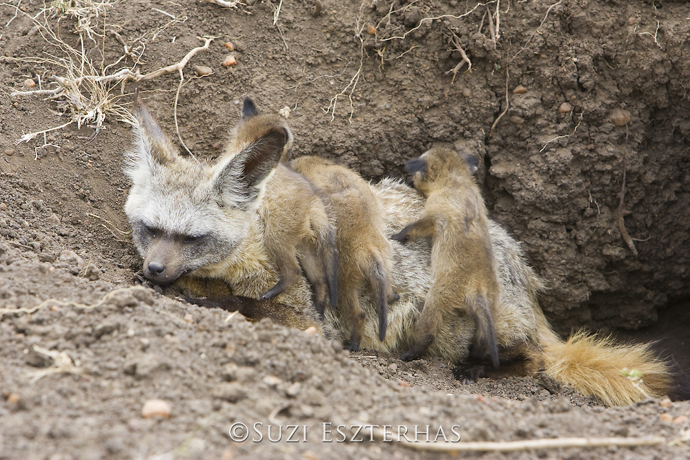 Bat-eared fox<br /> Otocyon megalotis<br /> With 15 day old pup(s) at den<br /> Masai Mara Reserve, Kenya