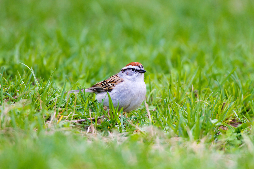 The Chipping Sparrow is a slender, fairly long-tailed sparrow with a medium-sized bill that is a bit small for a sparrow. Learning the shape of this classic Spizella sparrow is a key step in mastering sparrow identification.