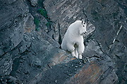 Rocky Mountain goat (Oreamnos americanus) on steep mountain side<br />