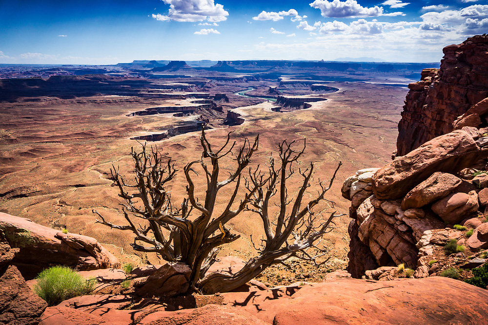 Dry Tree in front of River Carved Valley in Canyonlands National Park in Moab, Utah. ©justinalexanderbartels.com