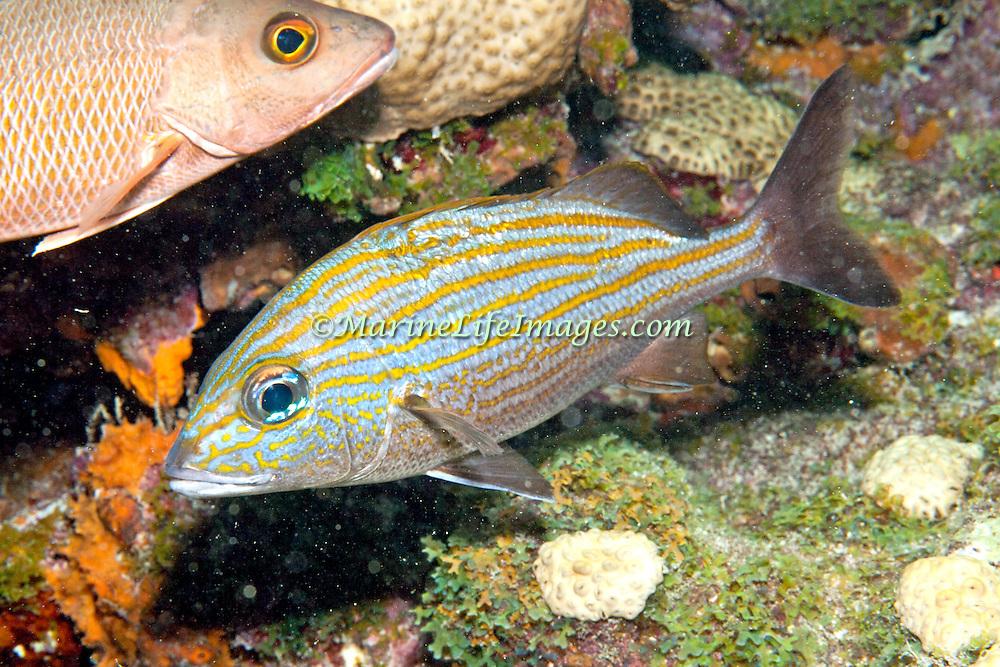 Caesar Grunt inhabit reefs in Tropical West Atlantic; picture taken Key Largo, FL.